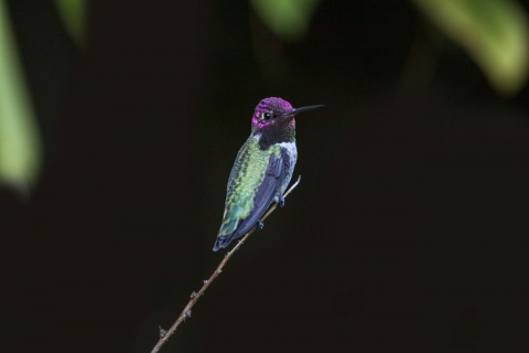 Photo of a tiny colourful bird (magenta, blue, and green) resting on a twig.