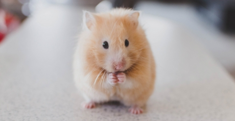A tiny hamster on a white surface looking at the camera.