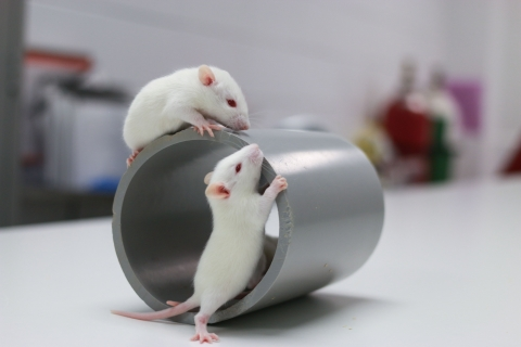two white rats walking on a metal tube