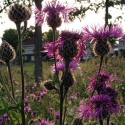 purple thistles, blowing in the wind.