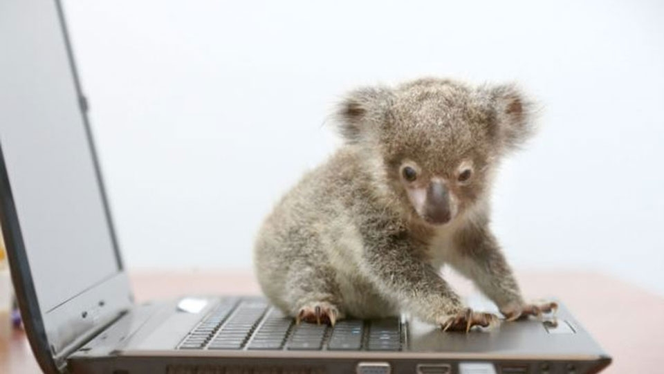 Baby koala on a laptop